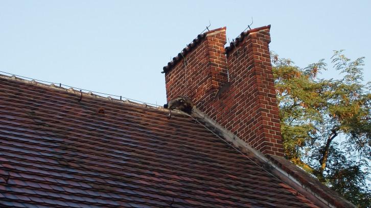 Waschbären auf dem Dach